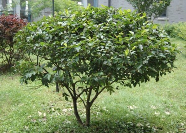巴豆树图片大全